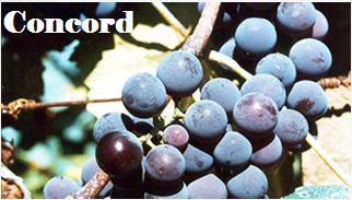uva-concord