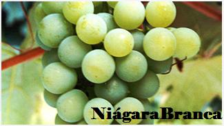 uva-niagara-branca